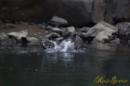 ヤマセミ Crested Kingfisher ※1D4 EF540 F5.6 ISO640 SS1/800
