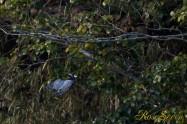 ヤマセミ Crested Kingfisher ※1D4 EF540 F5.6 SS1/1000