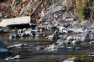 ヤマセミ Crested Kingfisher ※1D4 EF540 F5.6 ISO1000 SS1/1000