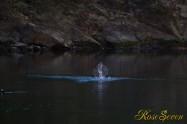 ヤマセミ Crested Kingfisher ※1D4 EF540 F4 ISO1000 SS1/1250
