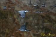 ヤマセミ Crested Kingfisher ※1D4 EF540 F4 ISO1000 SS1/800