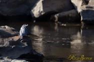 ヤマセミ Crested Kingfisher ※1D4 EF540 F4 ISO200 SS1/1000
