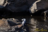 ヤマセミ Crested Kingfisher ※1D4 EF540 F4 ISO250 SS1/1000