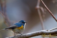 Red-flanked bluetail ルリビタキ