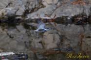 ヤマセミ Crested Kingfisher ※1D4 EF540 F4 ISO1600 SS1/800