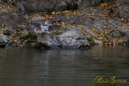 ヤマセミ Crested Kingfisher ※1D4 EF540 F4 ISO1000 SS1/400