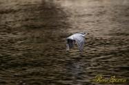 ヤマセミ Crested Kingfisher ※1D4 EF540 F5.6 ISO320 SS1/1000