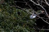 ヤマセミ Crested Kingfisher ※1D4 EF540 F4 ISO500 SS1/1000