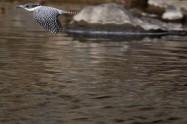 ヤマセミ Crested Kingfisher ※1D4 EF540 F5.6 ISO400 SS1/1000