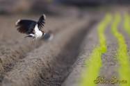 Northern lapwing タゲリ