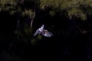 ヤマセミ Crested Kingfisher ※1D4 EF540 F5.6 ISO400 SS1/1250