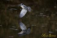 ヤマセミ Crested Kingfisher ※1D4 EF540 F4 ISO800 SS1/1000