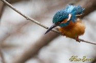 カワセミ Common Kingfisher