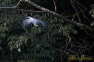 ヤマセミ Crested Kingfisher ※1D4 EF540 F4 ISO1250 SS1/800