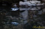 ヤマセミ Crested Kingfisher ※1D4 EF540 F4 ISO1250 SS1/320