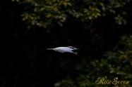 ヤマセミ Crested Kingfisher ※1D4 EF540 F4 ISO640 SS1/800