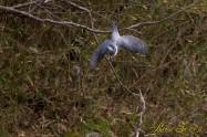 ヤマセミ Crested Kingfisher ※1D4 EF540 F5.6 ISO1600 SS1/800