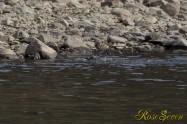 ヤマセミ Crested Kingfisher ※1D4 EF540 F7.1 ISO200 SS1/640