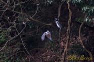 ヤマセミ Crested Kingfisher ※1D4 EF540 F4 ISO800 SS1/640
