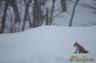 極寒と空腹に耐える キタキツネ Ezo red fox