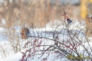 Bullfinch アカウソ (2013/02)