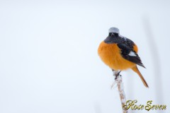 Daurian Redstart ジョウビタキ