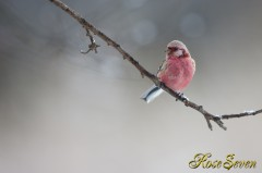 Long-tailed Rose Finch ベニマシコ