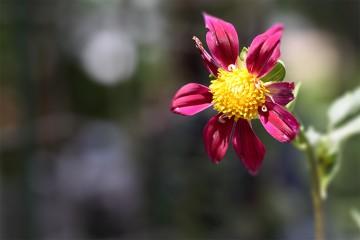 黒川ダリア園で貰った種が開花しました