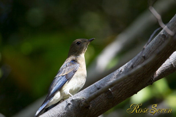 オオルリ 若 (Blue-and-White Flycatcher)