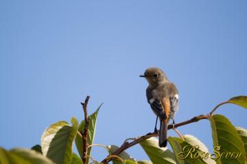 ジョウビタキ Daurian Redstart ♀