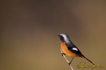 ジョウビタキ Daurian Redstart ♂