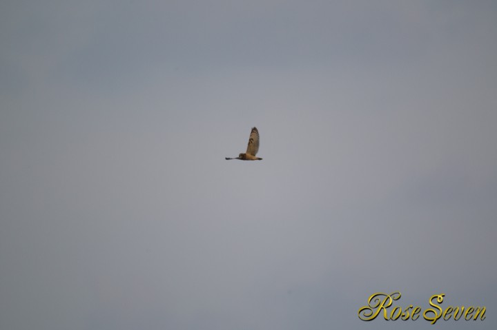 コミミズク Short-eared Owl (Manually Erase exif EF800 F5.6L IS USM)