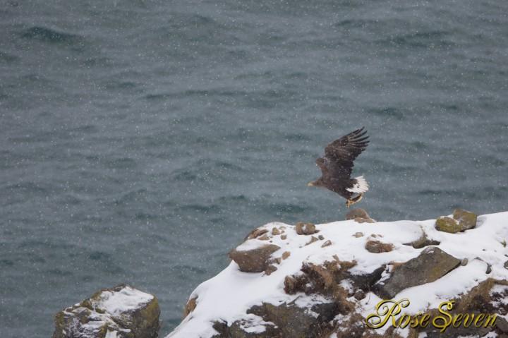 羅臼近郊でオジロワシ White-tailed Eagle