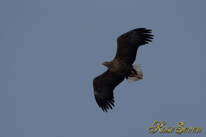 オジロワシ White-tailed Eagle