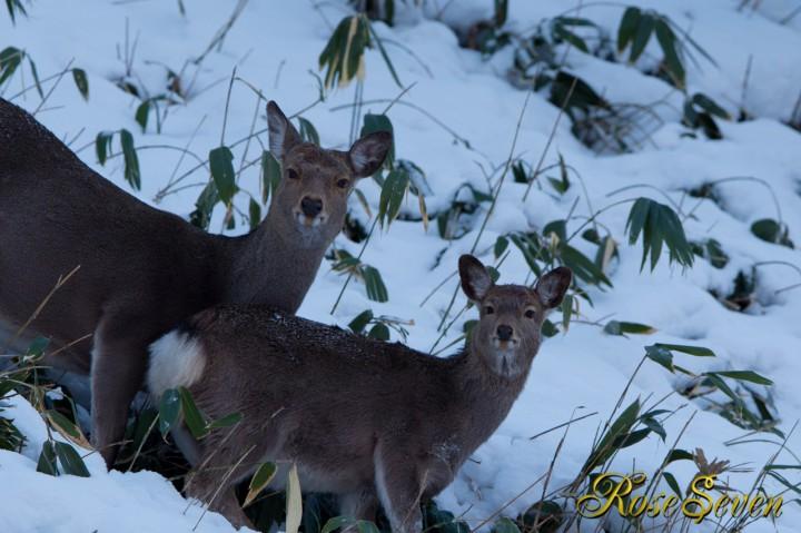エゾシカ Hokkaido Sika Deer