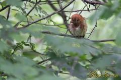 Scops Owl コノハズク