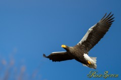 Steller's sea eagle オオワシ