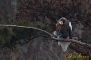 オオワシ Steller's sea eagle