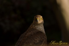 Sparrowhawk ハイタカ ※ Canon Eos-1D Mark IV + EF400 F2.8L IS II USM