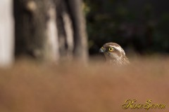 Sparrowhawk ハイタカ