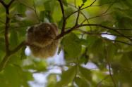 Collared Scops Owl オオコノハズク