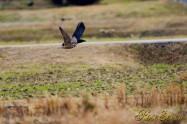 Peregrine Falcon ハヤブサ