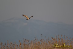 Eastern marsh harrier チュウヒ