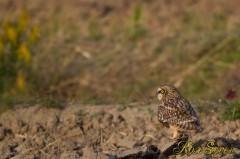 Short-eared Owl コミミズク