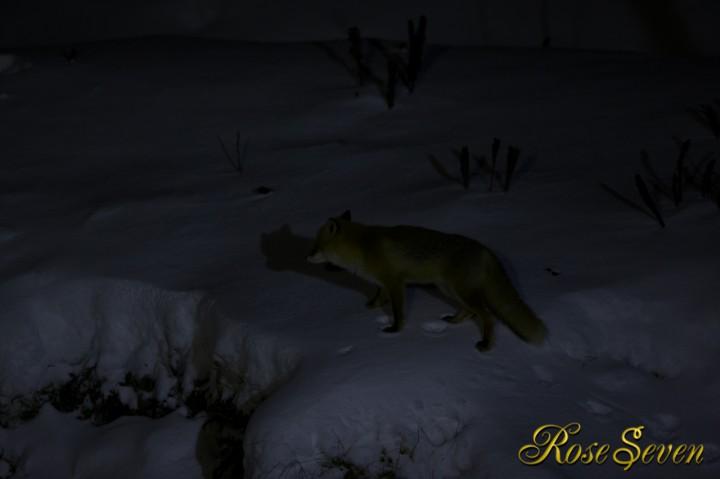キタキツネ Ezo red fox