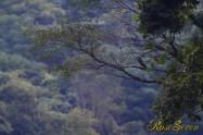 Peregrine Falcon ハヤブサ ※ (山翡翠 幼鳥を狙っている)