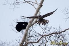 Peregrine Falcon ??