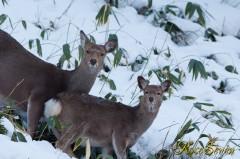 Hokkaido Sika Deer エゾシカ