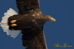 White-tailed Eagle オジロワシ
