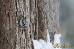 Japanese Pygmy Woodpecker (Ezo kogera)
